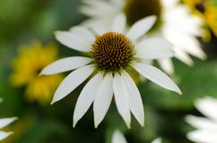 """Slut """"för vit swan"""" för Echinaceapurpurea upp med en smudgy bakgrund av gula och vita blommor royaltyfri bild"""