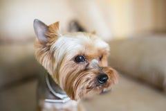 Slut för Yorkshire terrier upp Royaltyfria Bilder