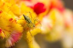 Slut för lodjurspindel A upp av en banhoppningspindel på blomman Arkivfoto