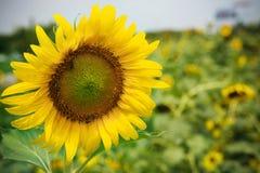 Slut som är ärligt av solblommor som blommar i grönt fältbruk för mu Arkivfoto