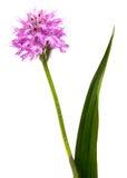 Orchidblomma Arkivbild