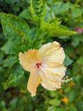 Slut upp älskvärd gul hibiskus i denna säsong royaltyfria bilder