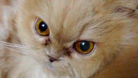 Slut upp öga för persisk katt M stock video