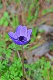 Slut upp anemonblomman Fotografering för Bildbyråer