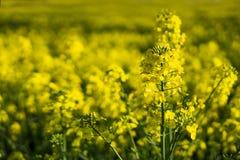 Slut upp att blomma rapsfr?canola eller rapsfr? i latinsk Brassica Napus, v?xt f?r gr?n energi och oljeindustri, rapsfr? arkivfoton