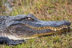 Slut upp av alligatorhuvudet i Everglades Royaltyfria Foton