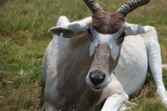Slut upp av antilop medan på safari Arkivfoton