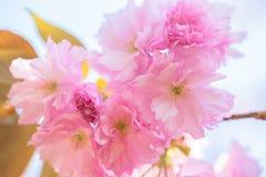 Slut upp av att blomma den dubbla körsbärsröda blomningen Arkivfoto