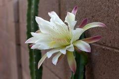 Slut upp av att dåna kaktuns Royaltyfri Bild