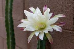 Slut upp av att dåna kaktuns Arkivfoto
