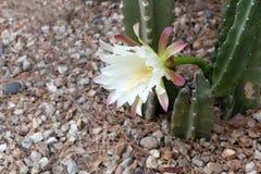 Slut upp av att dåna kaktuns Royaltyfri Foto