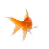Slut upp av att simma den skinande fisken royaltyfri foto