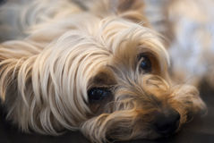 Slut upp av att vila för Yorkshire terrier. Royaltyfri Bild