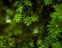 Slut upp av barrträds- filialer Royaltyfri Foto