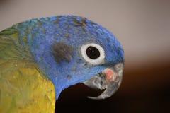 Slut upp av blåa hövdade Pionus Royaltyfri Foto