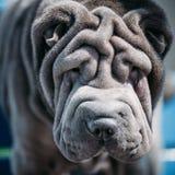 Slut upp av blåa Shar Pei Dog shar kinesisk pei royaltyfri bild