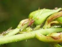 Slut upp av bladlöss Arkivfoto