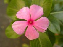Slut upp av blomman för rosa färgfärgvintergröna arkivbild