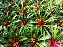 Slut upp av bromeliaväxter i trädgården Arkivfoto