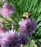 Slut upp av Bumble biet som pollinerar gräslökblomman royaltyfria bilder