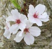 upp av Cherry Blossoms Growing på stammen av trädet Royaltyfri Fotografi