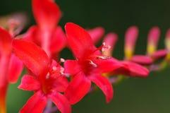 Slut upp av Crocosmia Lucifer blommor arkivbild