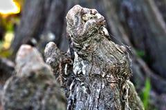 Slut upp av cypressknäet i sjön Martin Louisiana Swamp fotografering för bildbyråer