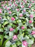 Slut upp av den Aechmea fasciataen - bromelia Royaltyfria Foton