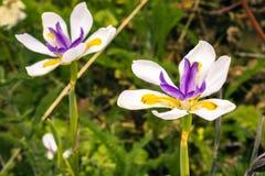 Slut upp av den afrikanska irisblomman Arkivfoto