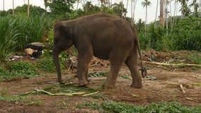 Slut upp av den asiatiska elefanten lager videofilmer