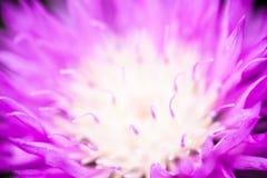 Slut upp av den blommande bortförklaringblåklinten Arkivfoton