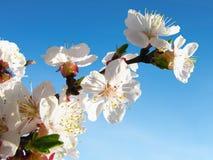 Slut upp av den blommande färgrika aprikosfilialen i ljust solsken Royaltyfria Foton