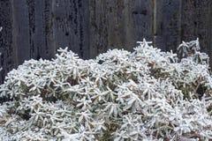 Slut upp av den djupfrysta blomman som täckas med is och snö, mycket shallo Royaltyfri Foto