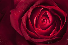 Slut upp av den enkla röda rosen royaltyfria foton