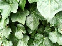 Slut upp av den gröna murgrönan Royaltyfria Foton