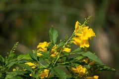 Slut upp av den gula blomman, gul fläder Royaltyfria Foton