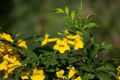 Slut upp av den gula blomman, gul fläder Arkivfoto