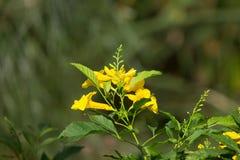 Slut upp av den gula blomman, gul fläder Royaltyfri Foto