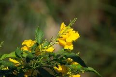 Slut upp av den gula blomman, gul fläder Royaltyfri Fotografi