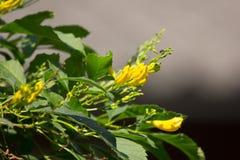 Slut upp av den gula blomman, gul fläder Fotografering för Bildbyråer