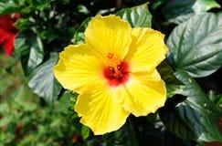 Slut upp av den gula hibiskusen Royaltyfri Fotografi