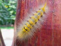 Slut upp av den gula larven Arkivfoton