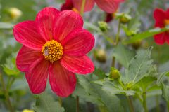 Slut upp av den härliga röda dahliablomman på trädgård Naturlig flowe Fotografering för Bildbyråer