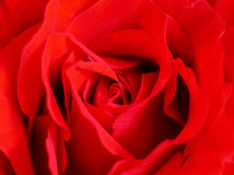 Slut upp av den härliga röda rosen Arkivfoton