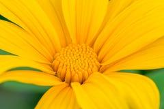 Slut upp av den japanska solrosen Royaltyfria Foton