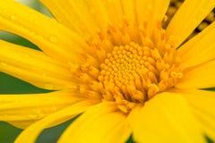 Slut upp av den japanska solrosen Royaltyfri Fotografi