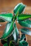 Slut upp av den Kalanchoe pinnataväxten Arkivfoto
