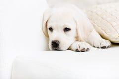 Slut upp av den ledsna labrador valpen på sofaen med kudde Royaltyfri Bild