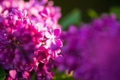 Slut upp av den lila blomman Arkivfoto