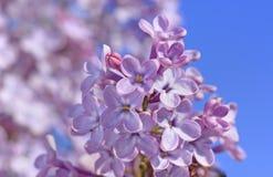 Slut upp av den lila blomningen Fotografering för Bildbyråer